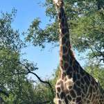 south-africa giraffe